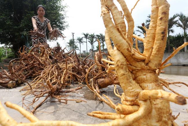 Rễ cây đinh lăng chữa yếu sinh lý hiệu quả