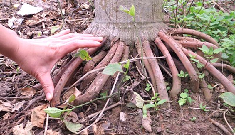Rễ cau non được sử dụng nhiều trong các bài thuốc đông y chữa yếu sinh lý
