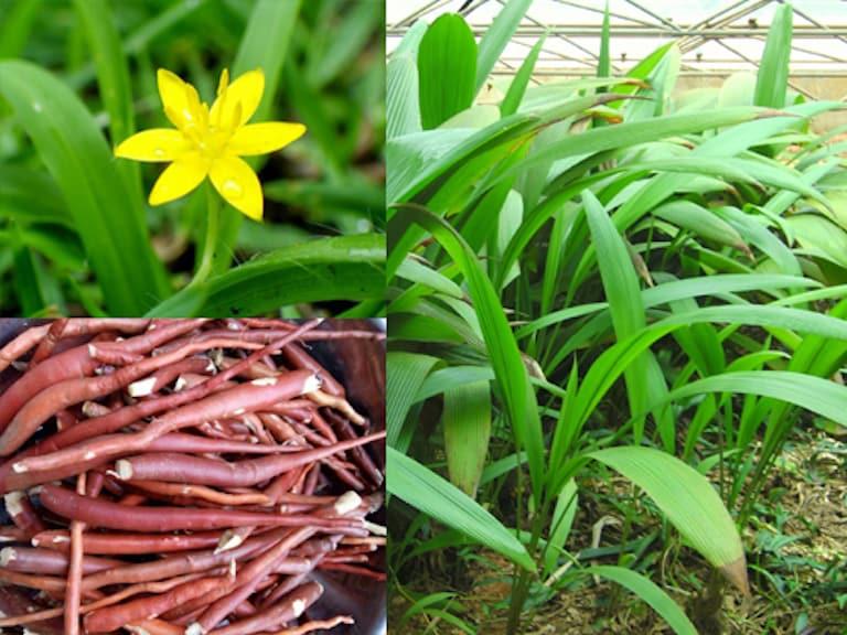 Ở Việt Nam, sâm cau phân bố rải rác ở các tỉnh vùng vúi như Lai Châu, Tuyên Quang, Cao Bằng, Sơn La, Hoà Bình