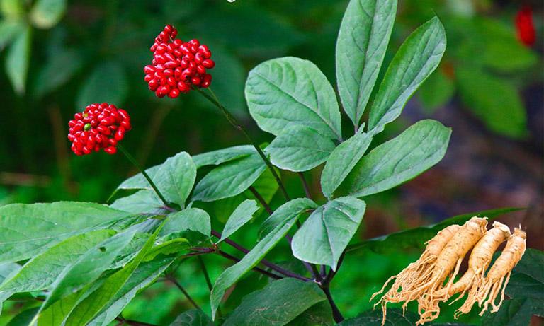 Quả của cây Nhân sâm Thổ Cao Ly có màu đỏ tươi