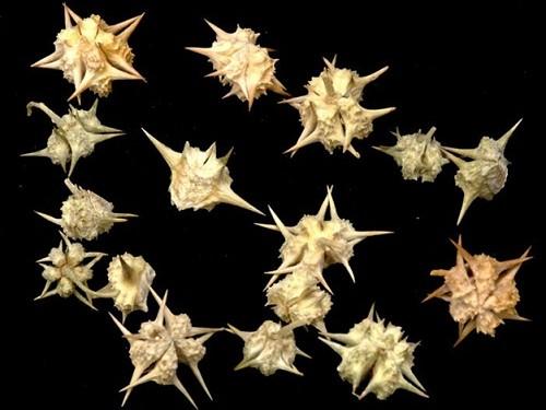 Quả của cây tật lê có gai sắc nhọn nên còn được gọi là gai ma vương