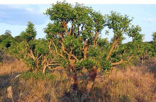 Trong nhiều thế kỷ qua, vỏ cây Yohimbe cũng được sử dụng trong nhiều tác dụng như để trị sốt, phong nhưng hiệu quả nhất vẫn là kích thích tình dục