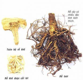 Rễ cây Nhân sâm Siberia có nhiều dược tính tốt cho sức khoẻ