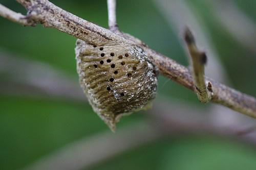 Toàn bộ tổ bọ ngựa được đính trên cành dâu tằm sẽ được sử dụng để làm vị thuốc với tên gọi tang phiêu tiêu